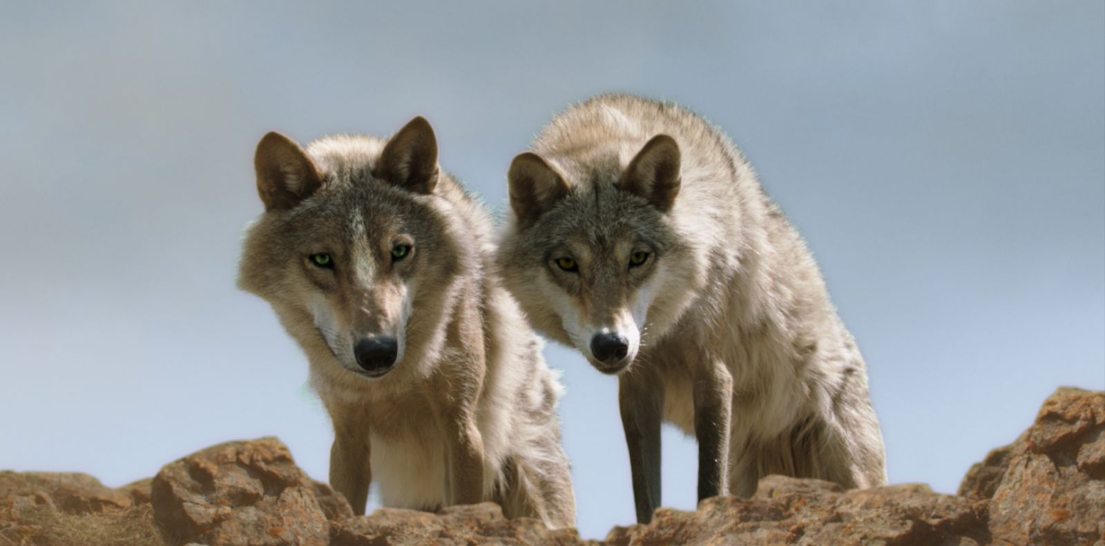 Wolf Totem Aka Le Dernier Loup